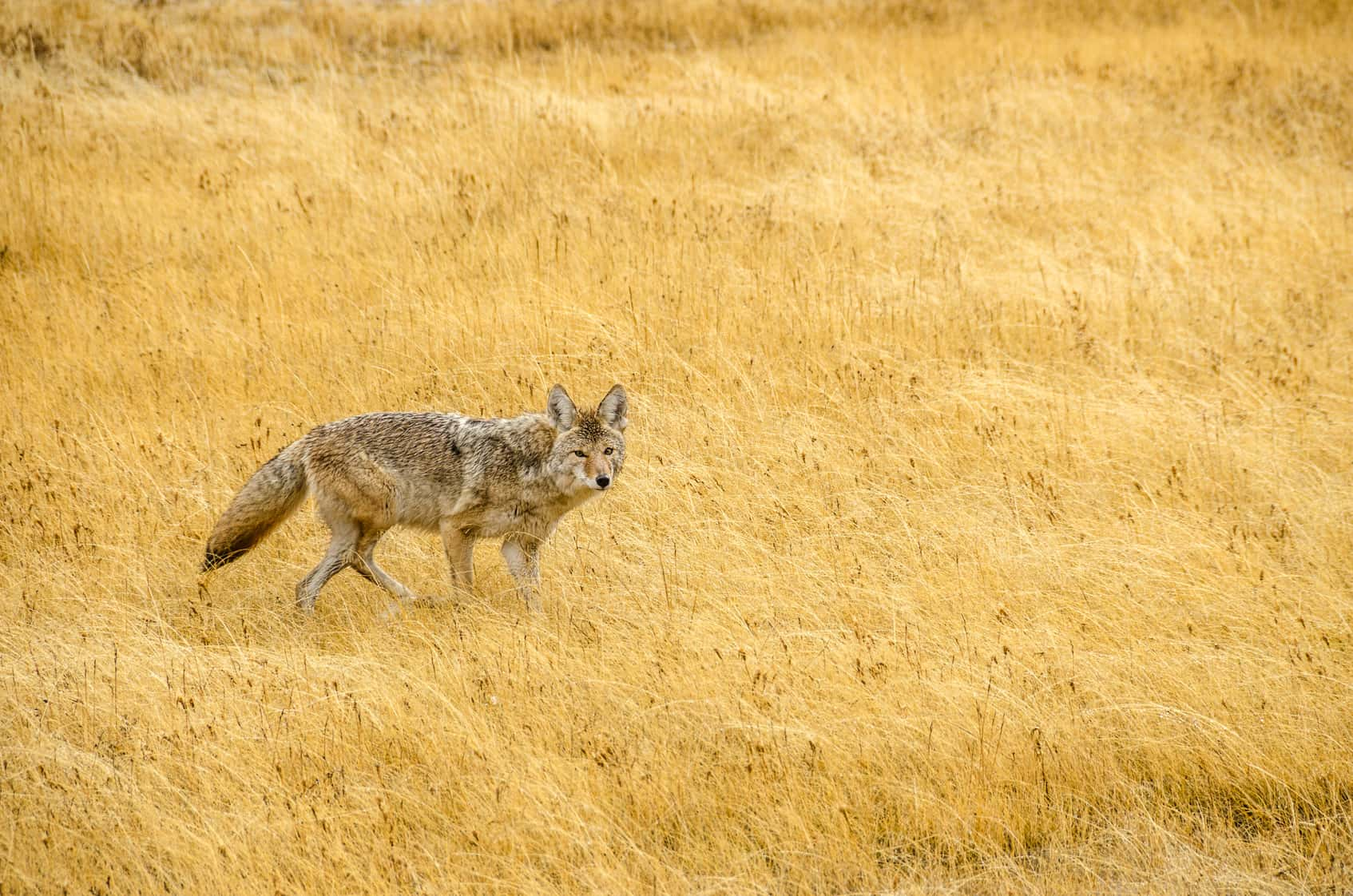Mistakes Hunters Do When Hunting Coyotes