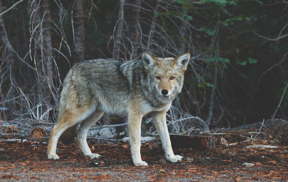 How To Hunt Coyotes At Night - Mastering The Basics
