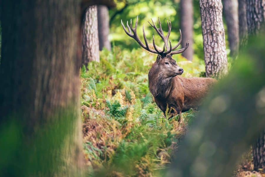 Red deer stag between ferns in forest