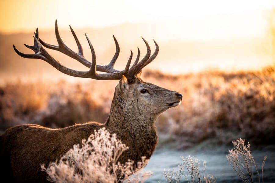 animal with big antlers