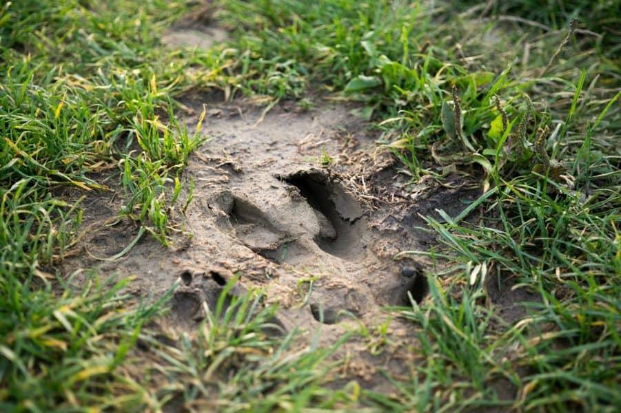 animal footprint on mud
