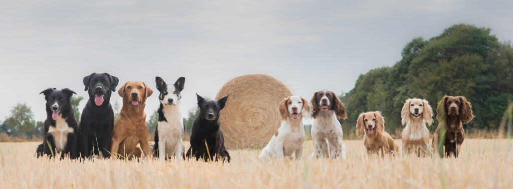 A group of dogs