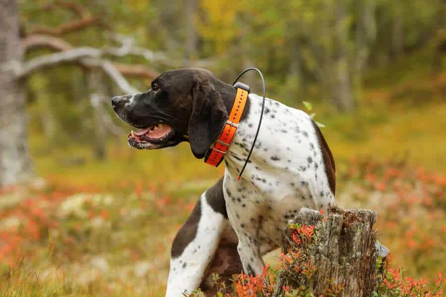 Dog english pointer