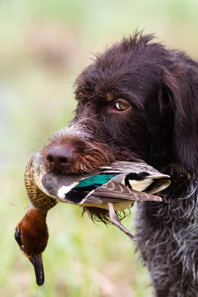 dog carries a downed duck