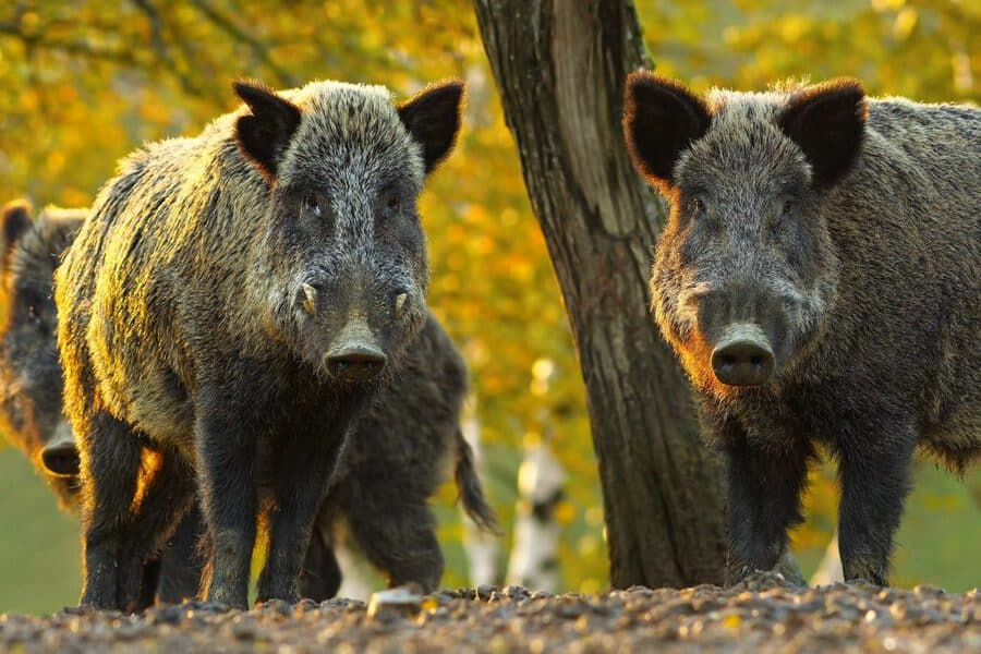 curious wild boars